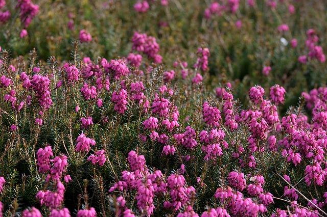 heather fiori di bach in menopausa